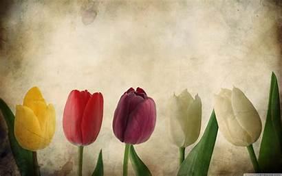 Desktop Tulips Wallpapers Flowers Gorgeous Backgrounds Retro