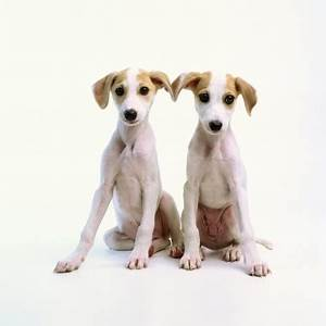 Whippets! | Dog Love | Pinterest