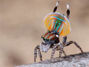 Video: Peacock Spider Does a Crazy Booty-Shaking Dance - D ...