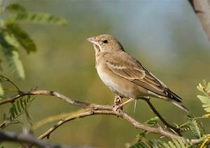 Conservation India » Pale Rock Sparrow, A New Bird For ...