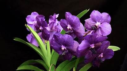Flower Orchid Purple Wallpapers Dark Flowers Orchids