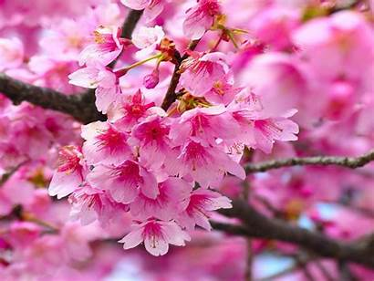 Blossom Cherry Flower Wallpapers13 Wallpapers