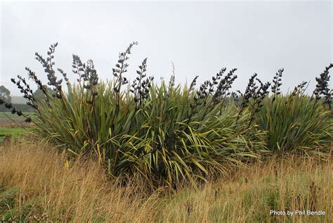 new zealand flax phormium tenax harakeke new zealand flax friends of te henui kete new plymouth