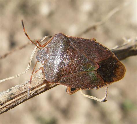 Garden Bug by Common Green Shieldbug Palomena Prasina Naturespot