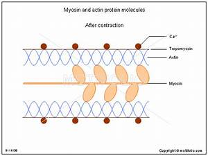 Myosin And Actin Protein Molecules Illustrations