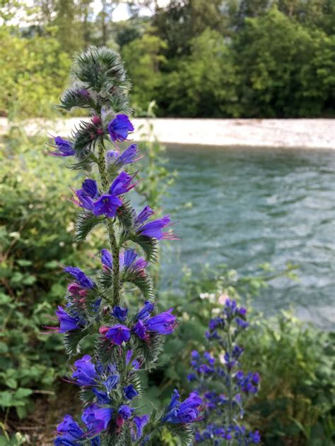 blueweed invasive species council  british columbia
