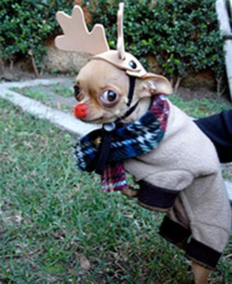 tgif heres  chihuahuas  silly costumes petite