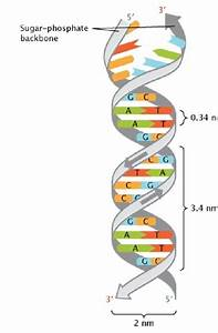 Dna Double Helix Dimensions  Reproduced With Permission