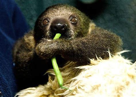 Sid The Sloth Goes On Display! Zooborns
