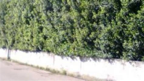 Ricanti Sempreverdi Per Recinzioni recinzioni sempreverdi