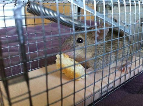piege a rat fait maison se d 233 barrasser des souris et des rats