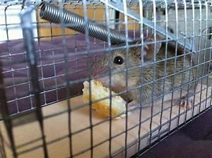 Piege à Rat Efficace : se d barrasser des souris et des rats ~ Dailycaller-alerts.com Idées de Décoration
