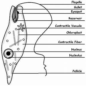 Labeled Euglena Line Drawing By Sciencedoodles On Deviantart