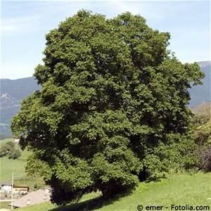 Walnussbaum Selber Pflanzen : walnussbaum pflege pflanzen d ngen schnitt ~ Michelbontemps.com Haus und Dekorationen