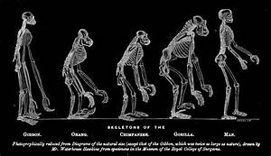 Human Evolution Skeletons | www.pixshark.com - Images ...