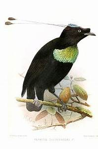 Duivenbode's six-wired bird of paradise - Wikipedia