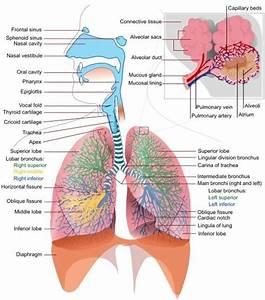 Respiratory System Diagram For 5th Grade 2019