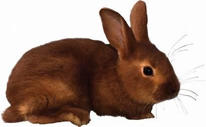 Rabbit Clipart Clip Rabbits Transparent Background Bunny