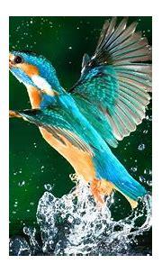 kingfisher bird hd wallpapers free download 1080p | Hd ...