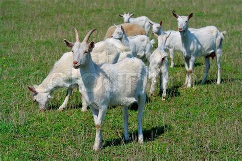 goats   goat farm stock photo colourbox