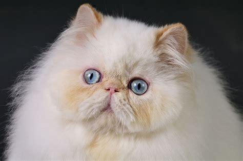 himalayan cat cat breeds encyclopedia
