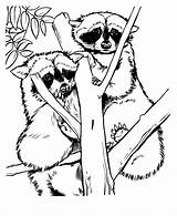 Raccoon Coloring Zoo Animal Racoon Drawing Drawings Sheets Printable Adult Animals Colouring Raccoons Nature Fern Grows Adults Activity Wild Raisingourkids sketch template