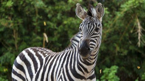 grants zebra  houston zoo