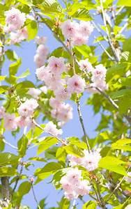 Düngen Mit Hornspänen : zierkirsche japanische bl tenkirsche prunus serrulata pflege ~ Frokenaadalensverden.com Haus und Dekorationen