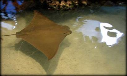 Northview Diary Cownose Ray