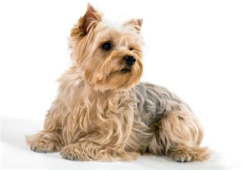 do yorkies shed hair terriers what s about em what s bad