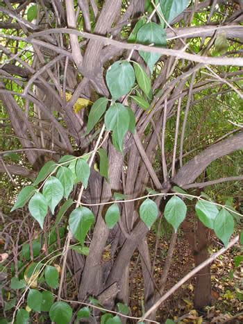 Bush Honeysuckle