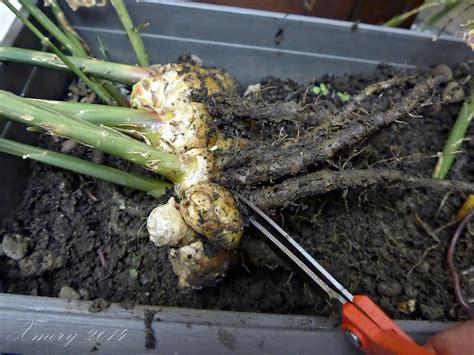 coltivare zenzero vaso coltivare lo zenzero in vaso ilgiardinonascosto
