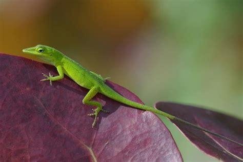 green anole wild herps green anole anolis carolinensis
