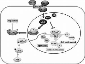 Aging-related downregulation of FoxO signaling in VSMC ...