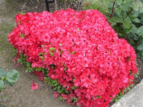 cuisine canalblog encore l 39 azalée une fois taillée photo de album fleurs
