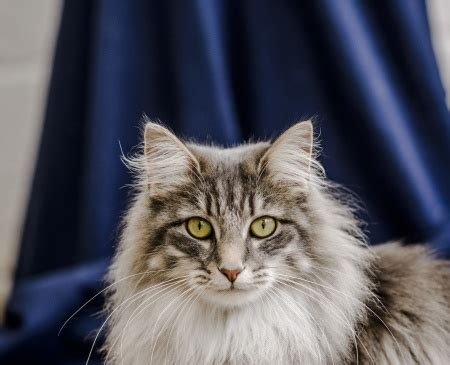 cystitis  cats feline idiopathic cystitis blue cross