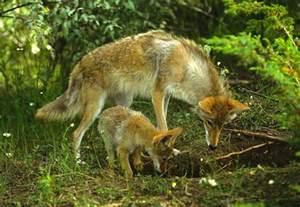 Baby Coyote Facts