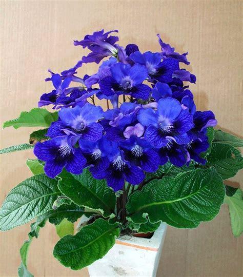Blühende Zimmerpflanzen Pflegeleicht by 13 Pflegeleichte Bl 252 Hende Zimmerpflanzen