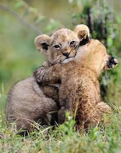 The Wild Hug : hugs hug lions and lion cub ~ Eleganceandgraceweddings.com Haus und Dekorationen