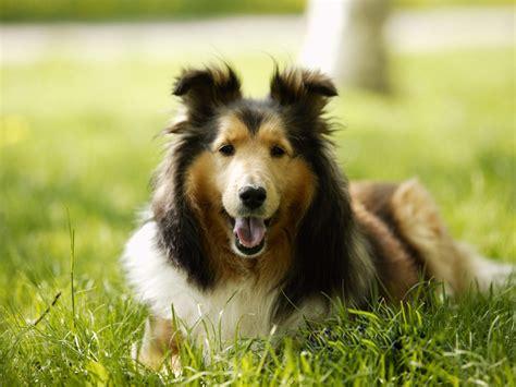 le berger des shetland caract 232 re origine prix 233 ducation et conseils race de chien