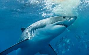 Scientist Reveals Why Great White Sharks Are Targeting