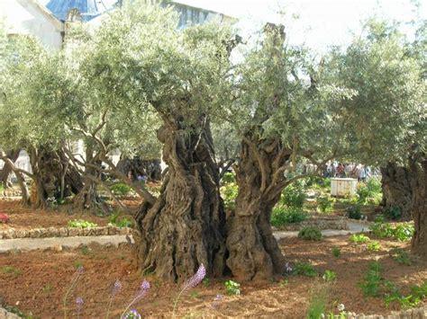 le jardin des oliviers en isra 235 l