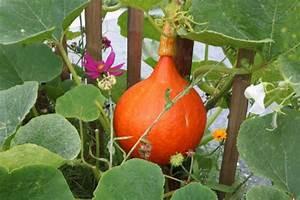 Hokkaido Kürbis Anbau Triebe Kürzen : k rbisse sorten anbau und verwendung ~ Yasmunasinghe.com Haus und Dekorationen