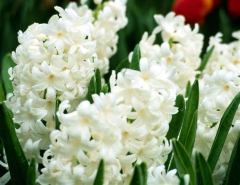 hyacinths how to plant grow and care for hyacinth