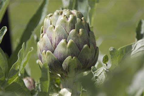 comment cuisiner les artichauts violets l 39 artichaut histoire sélection jardinage et usages culinaires