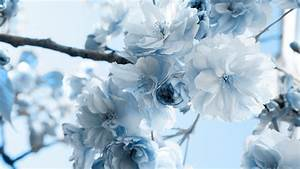 壁紙画像 » 青い花 Blue flower
