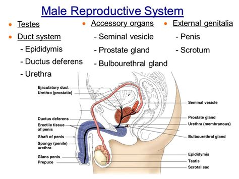 Chapter 16 The Reproductive System Intro & Male  Ppt. Florida All Inclusive Family Vacation Packages. New England Sealcoating Southland Dental Care. Crouse Hospital College Of Nursing. What Can Cause A Low Tsh Level