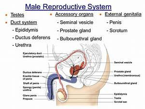 Chapter 16 The Reproductive System Intro & Male - ppt ...