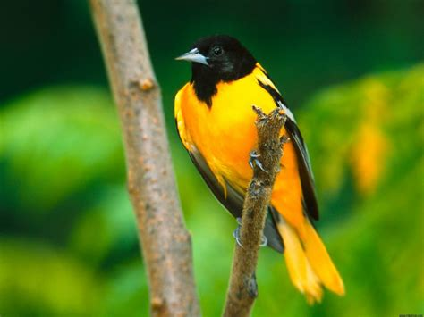 oriole baltimore wallpapers 1280 hd 1024 1200