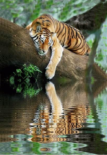 Tiger Siberian Cat Wild Bengal Animal Snow